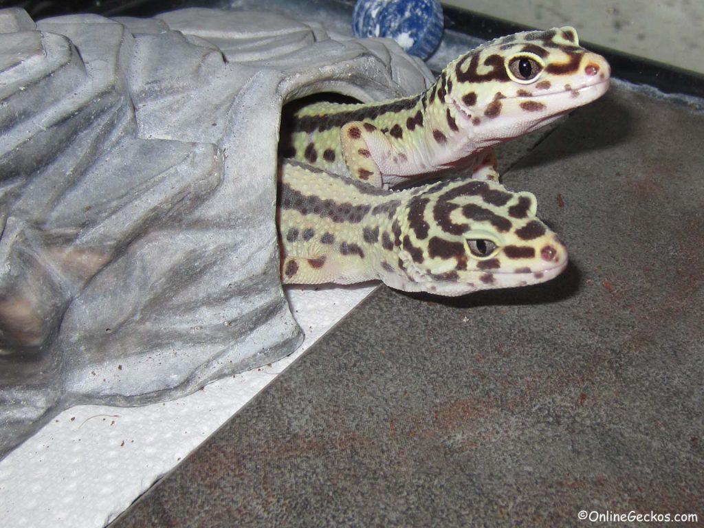 bandit leopard geckos shared tank