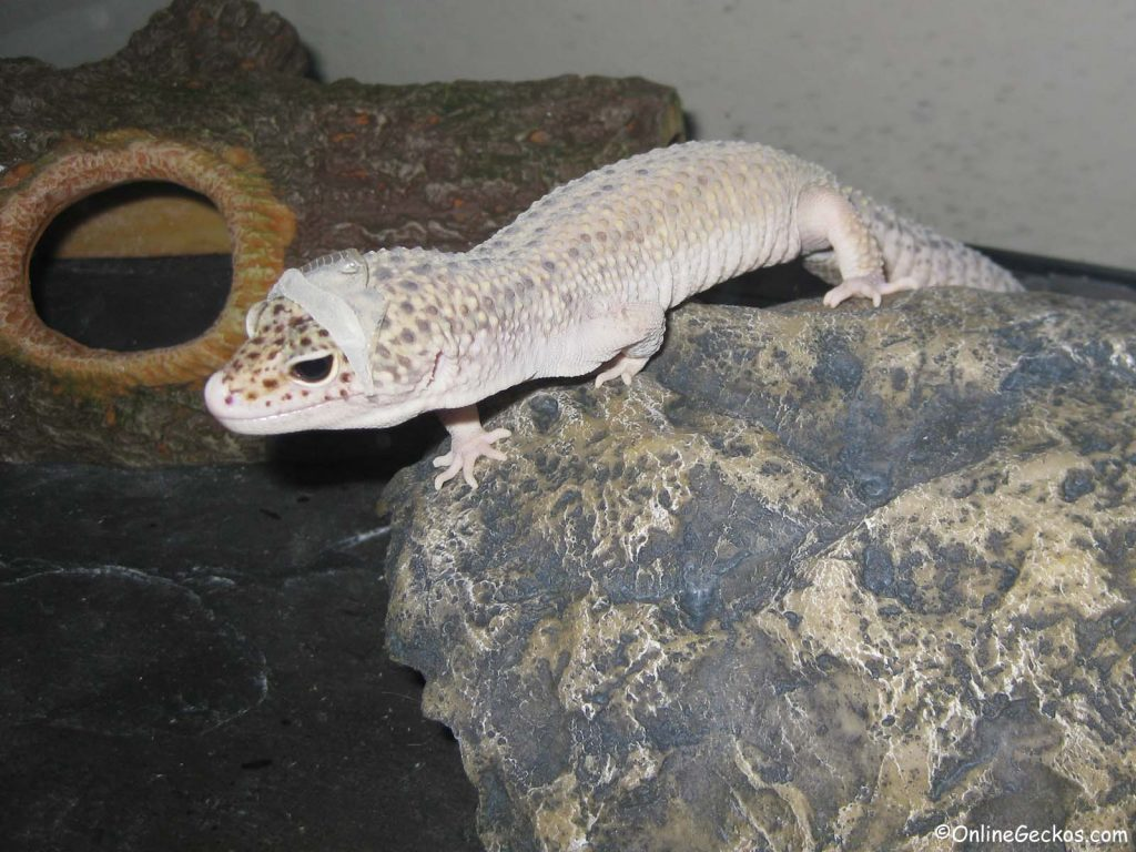 leopard gecko won't eat shedding super giant mack snow eclipse