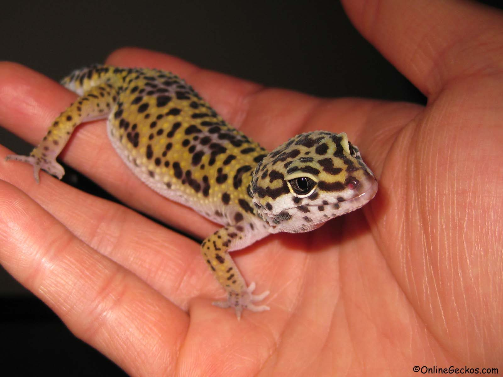best reptile pets for handling leopard gecko beginner pet lizzard