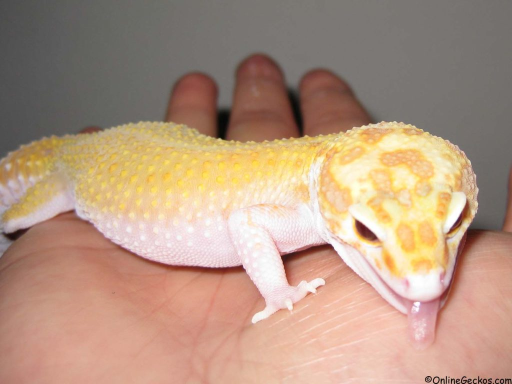 Best Reptile Pets For Handling - Beginner Pet Lizards -3051