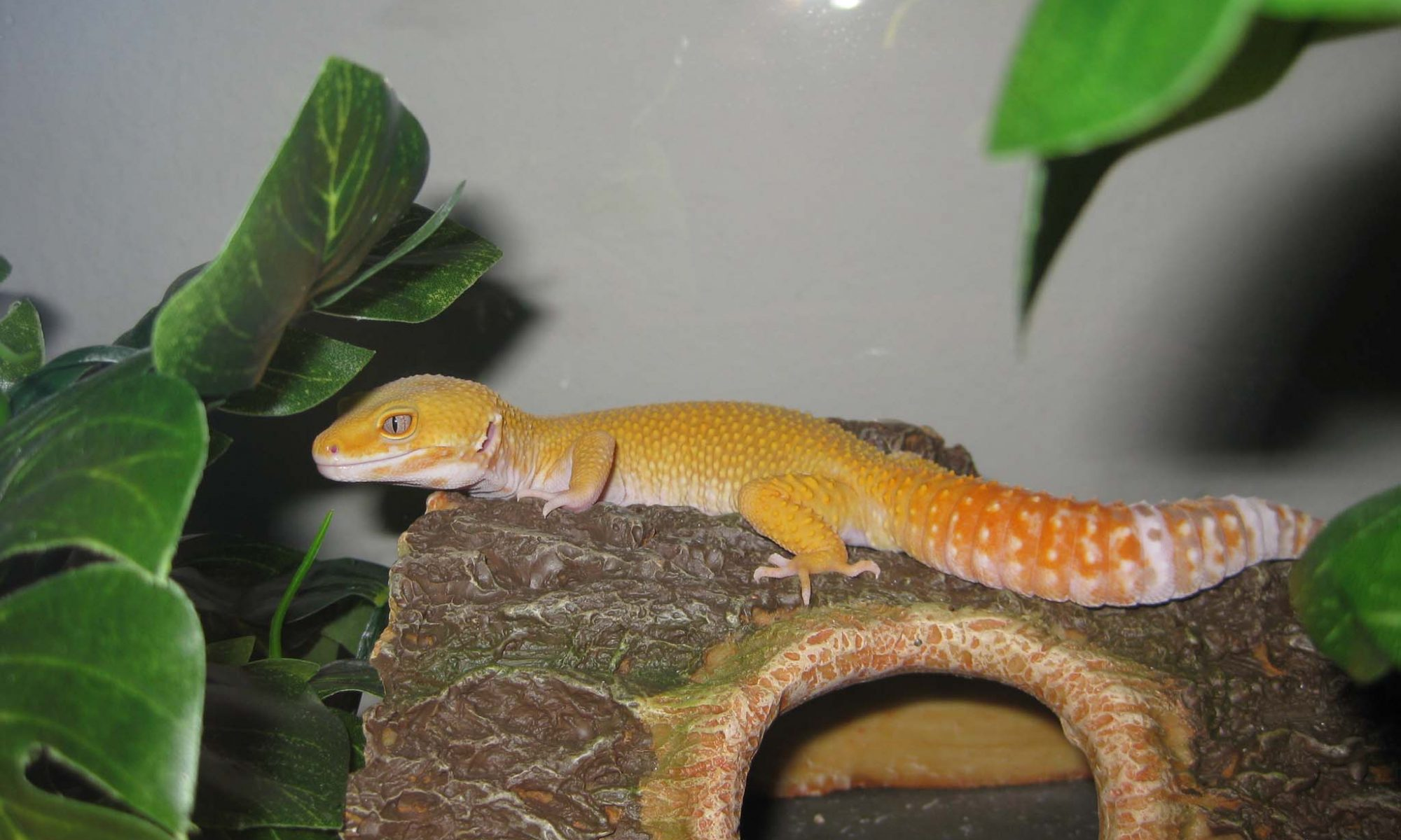 leopard gecko calcium supplement giant tremper sunglow