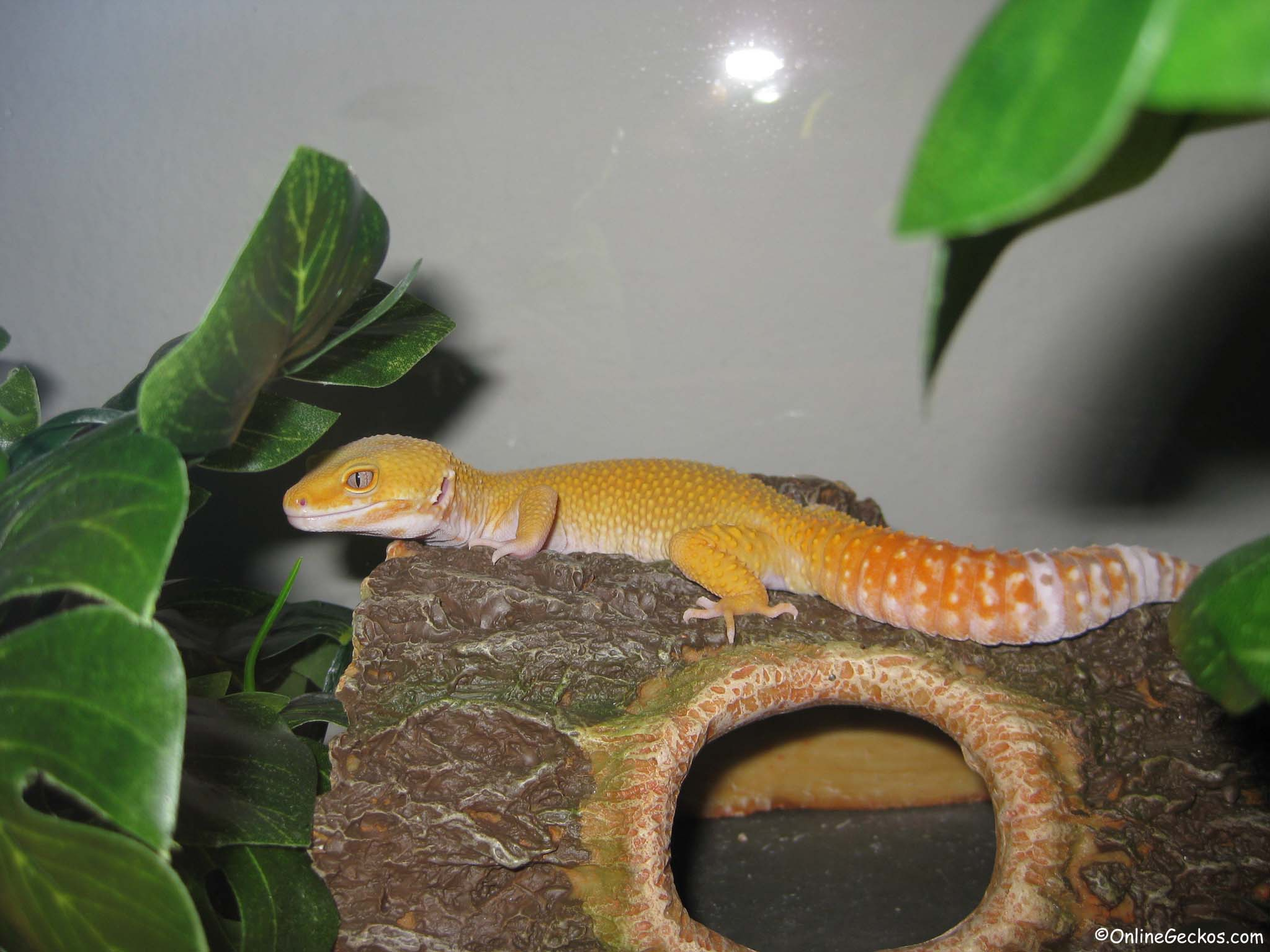 How to supplement gecko diet and dust feeder insects