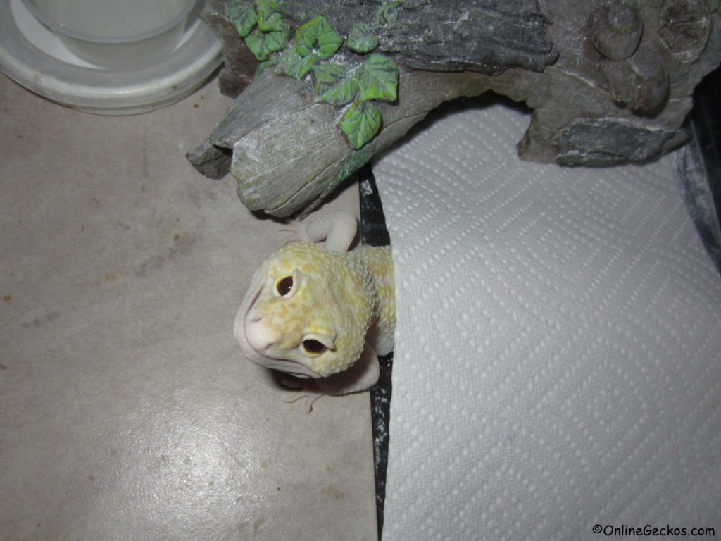 cute funny geckos ares super giant mack snow raptor leopard gecko