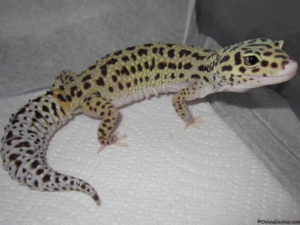 difference between leopard gecko and fat tailed eclipse
