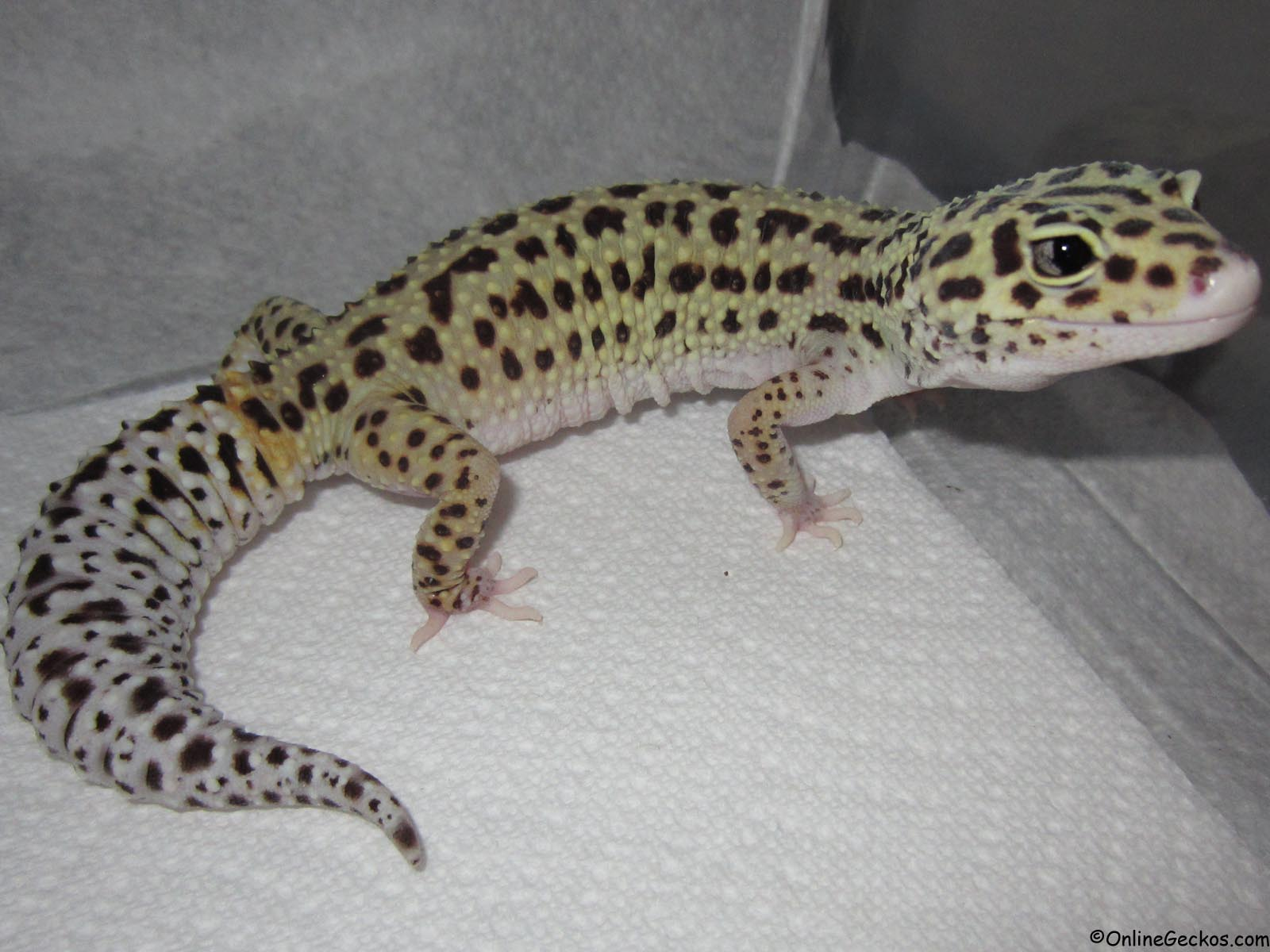 leopard gecko Find healthy and active leopard geckos for sale online at reptmart order here to have live reptiles, invertebrates and amphibians shipped directly to your door.