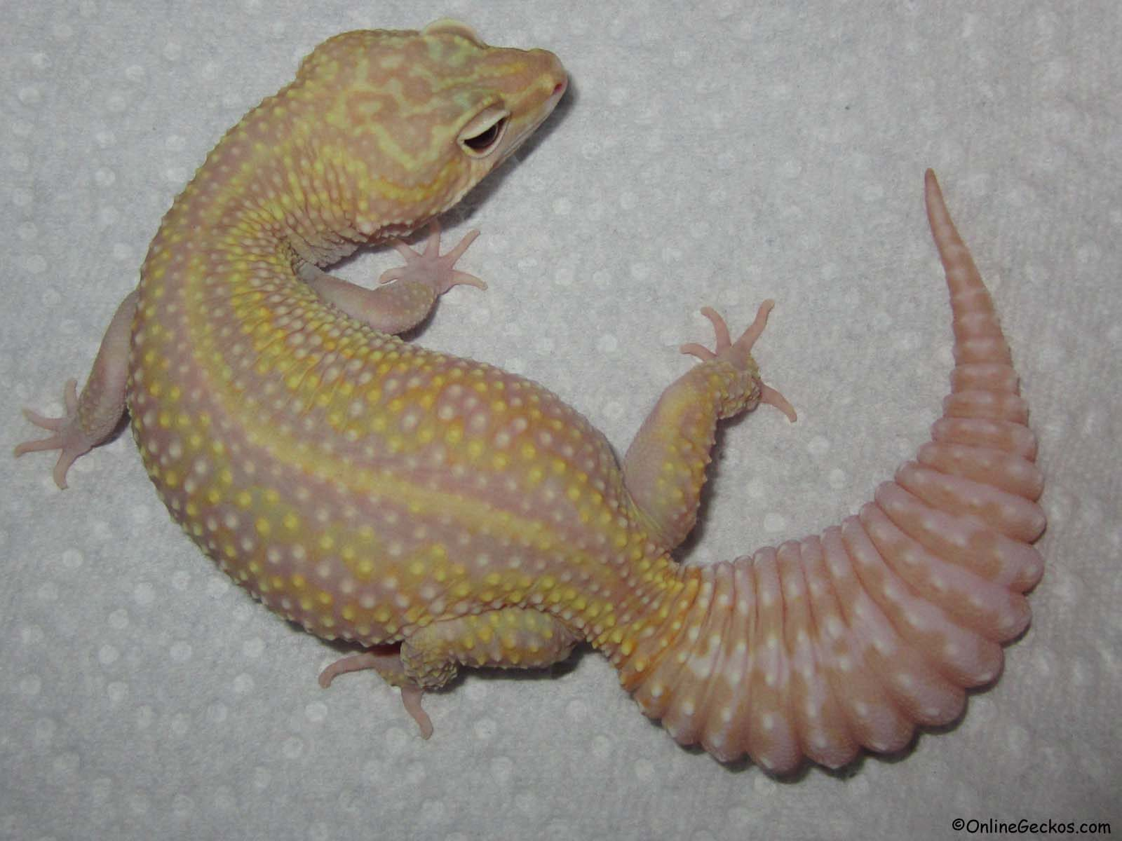 leopard gecko for sale mack snow raptor het diablo blanco female