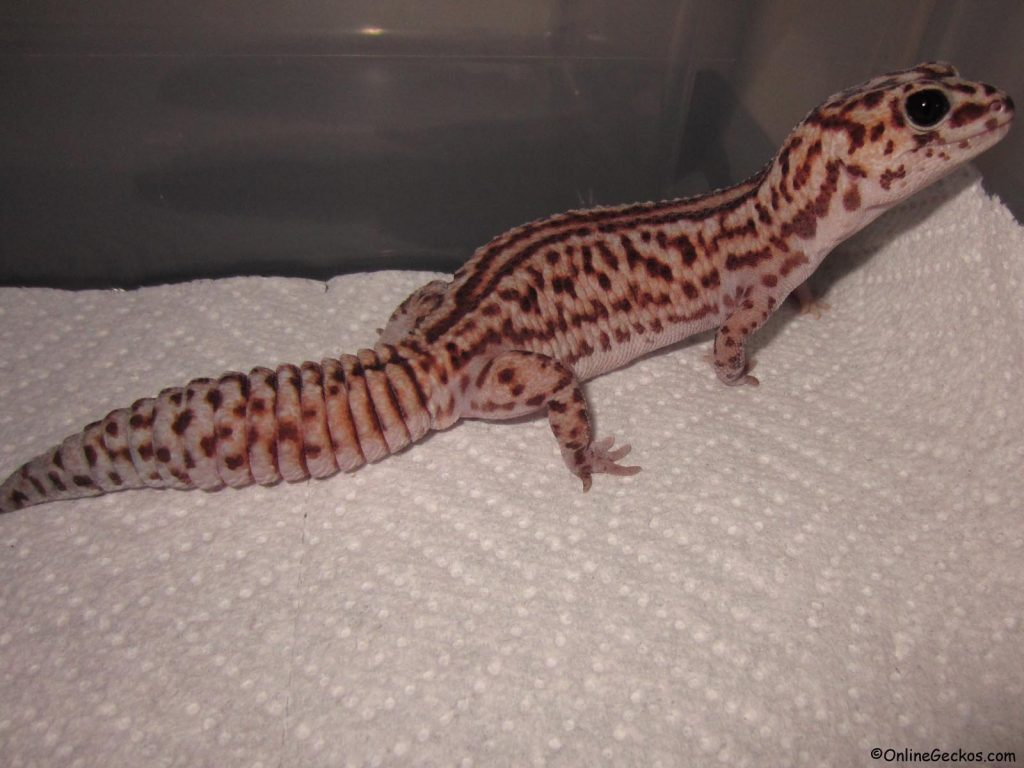 african fat tail vs leopard gecko striped white out patternless