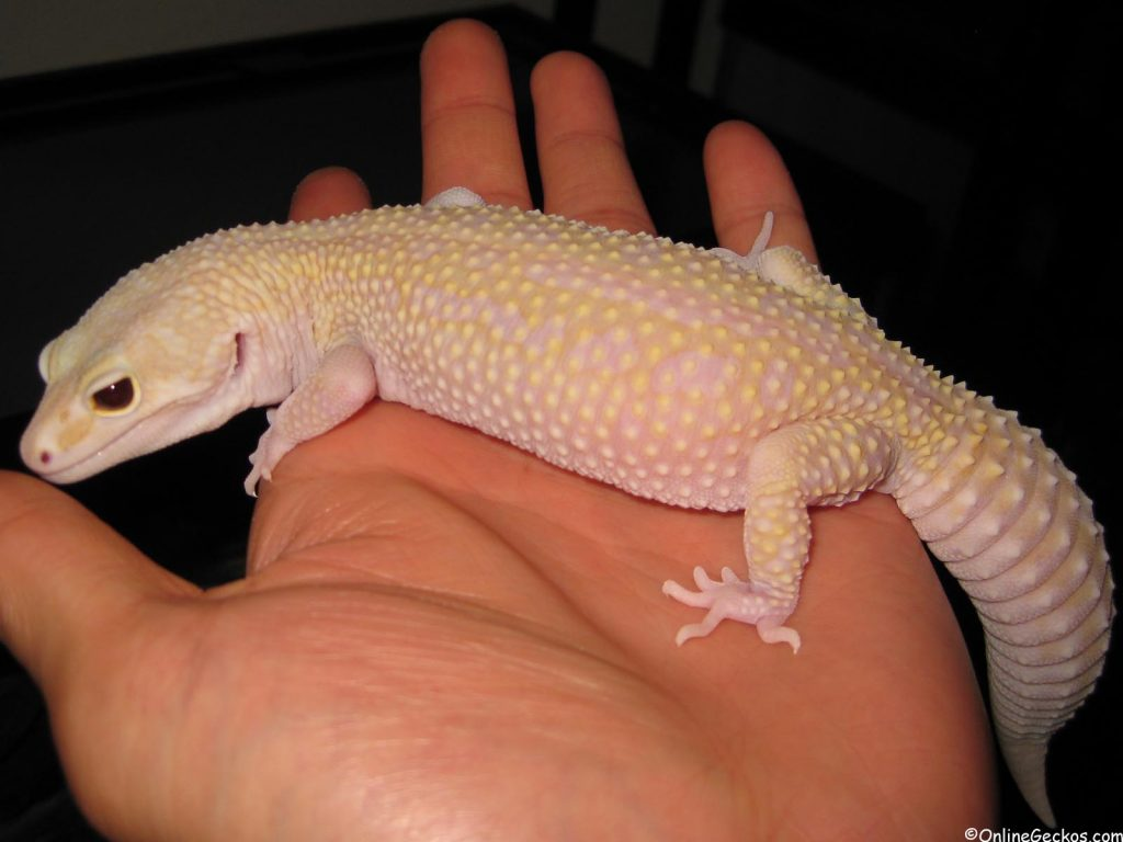 fat tail vs leopard gecko super giant mack snow raptor
