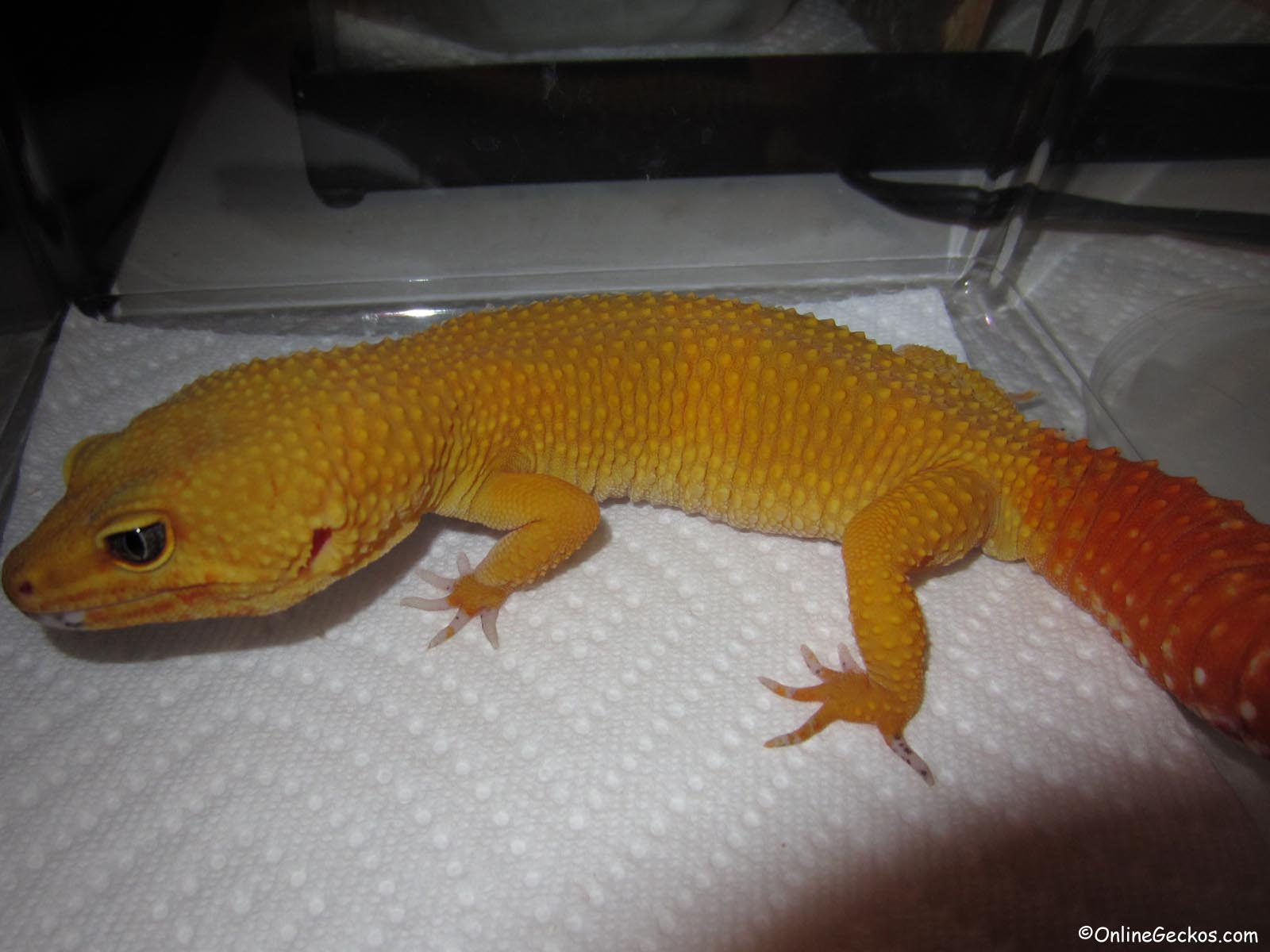 hypo tangerine baldy x normal