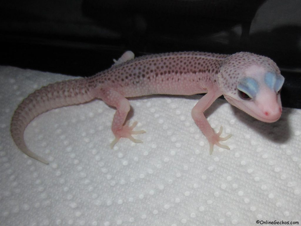 leopard gecko vs african fat tail super snow eclipse galaxy