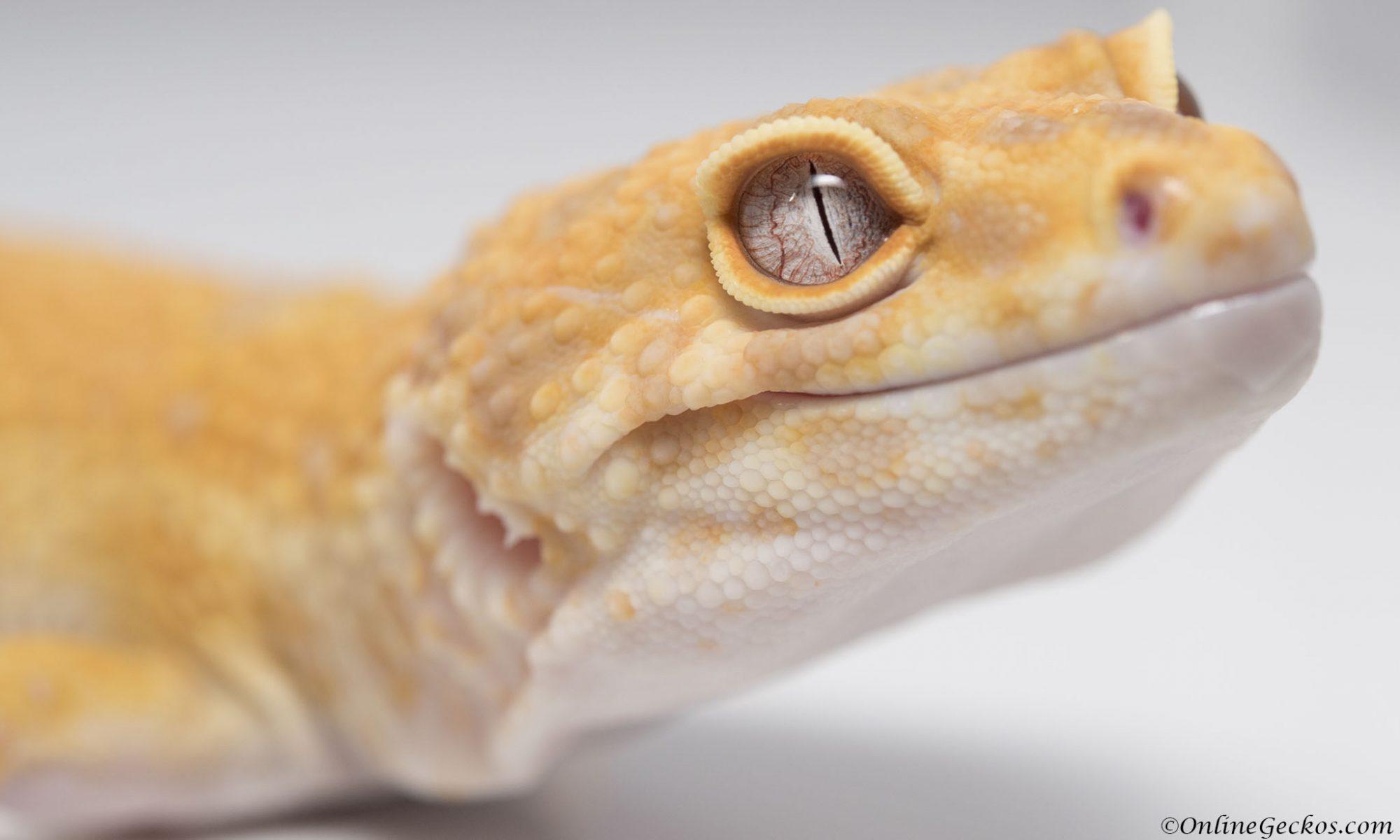 OnlineGeckos.com Gecko Breeder