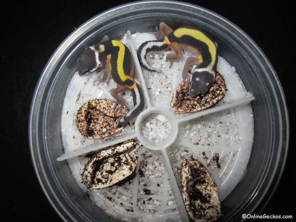 OnlineGeckos.com best reptile incubator Natures Spirit leopard gecko egg organizer hatchlings