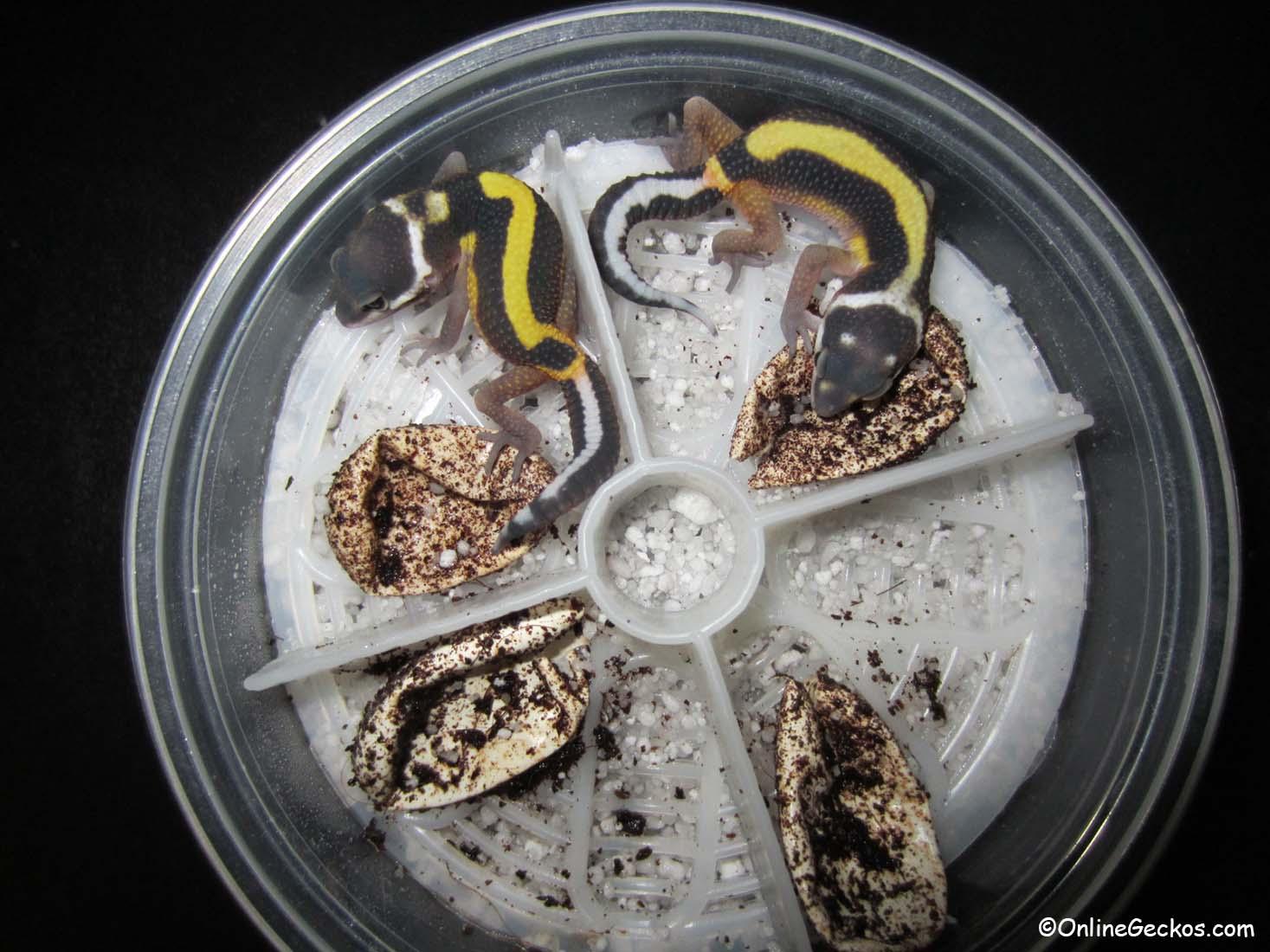 Best Reptile Incubator 2017 2018 Leopard Gecko Incubation