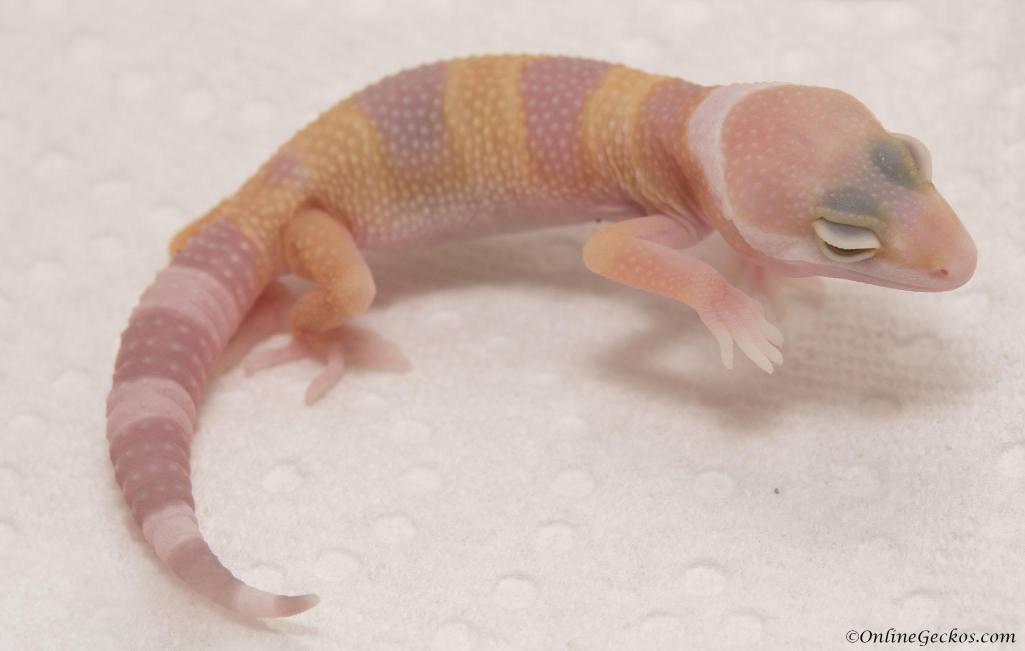 Cute Funny Geckos - OnlineGeckos.com Gecko BreederLeopard Gecko Hatchling