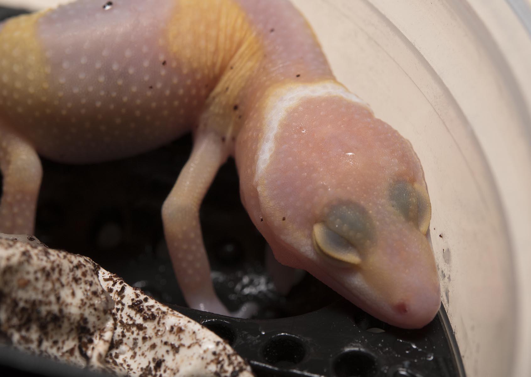 onlinegeckos.com leopard gecko hatchlings 2017 super giant