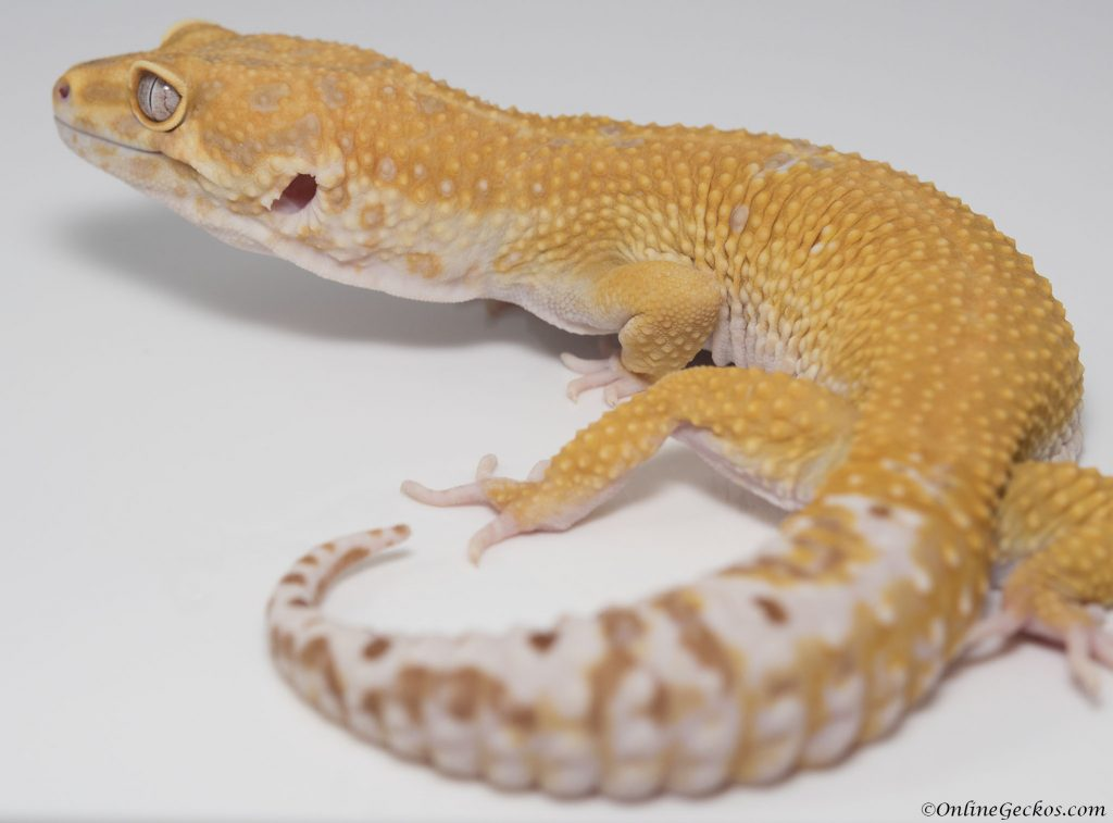 onlinegeckos.com male vs female leopard gecko behavior as pets giant extreme emerine