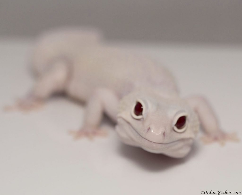 onlinegeckos.com should I get male or female leopard gecko as pets mack snow diablo blanco