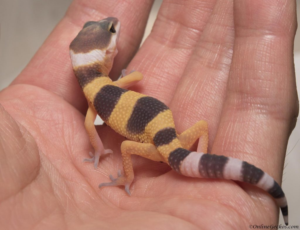 onlinegeckos.com leopard gecko super hypo tangerine carrot-tail hatchling 2017