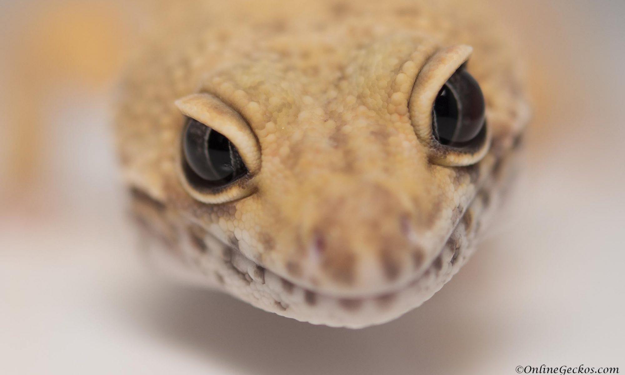 do leopard geckos bite? onlinegeckos super hypo tangerine carrot-tail baldy