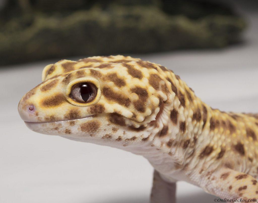 onlinegeckos leopard gecko radar do leopard geckos bite