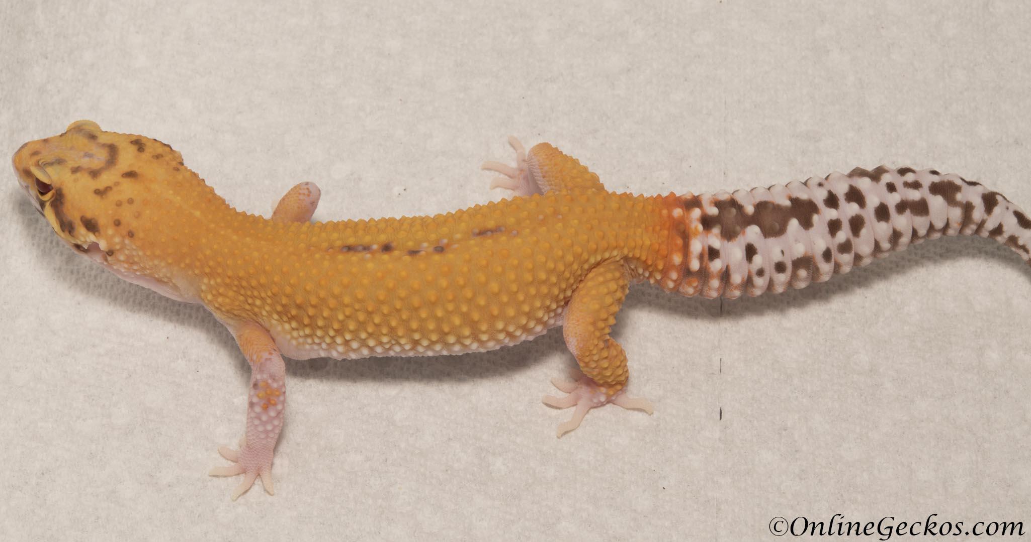 onlinegeckos-leopard-gecko-hatchling-radar-M4F53070317F ...Leopard Gecko Hatchling Care
