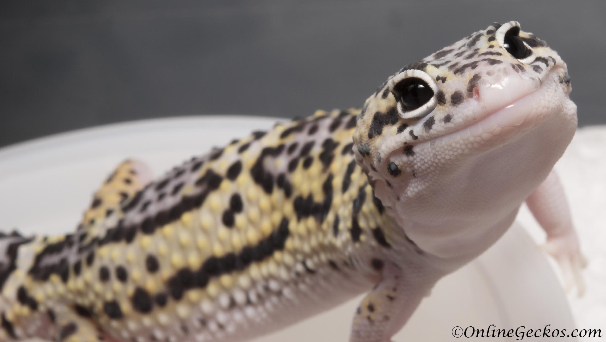 onlinegeckos-leopard-gecko-hatchling-eye-cute ...Leopard Gecko Hatchling For Sale