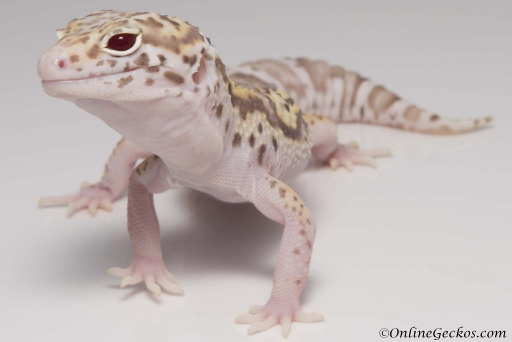 onlinegeckos leopard gecko mack snow radar het white knight female