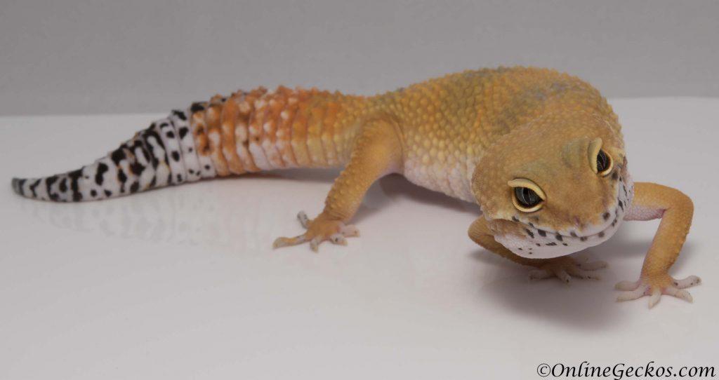 onlinegeckos leopard gecko super hypo tangerine carrot-tail baldy