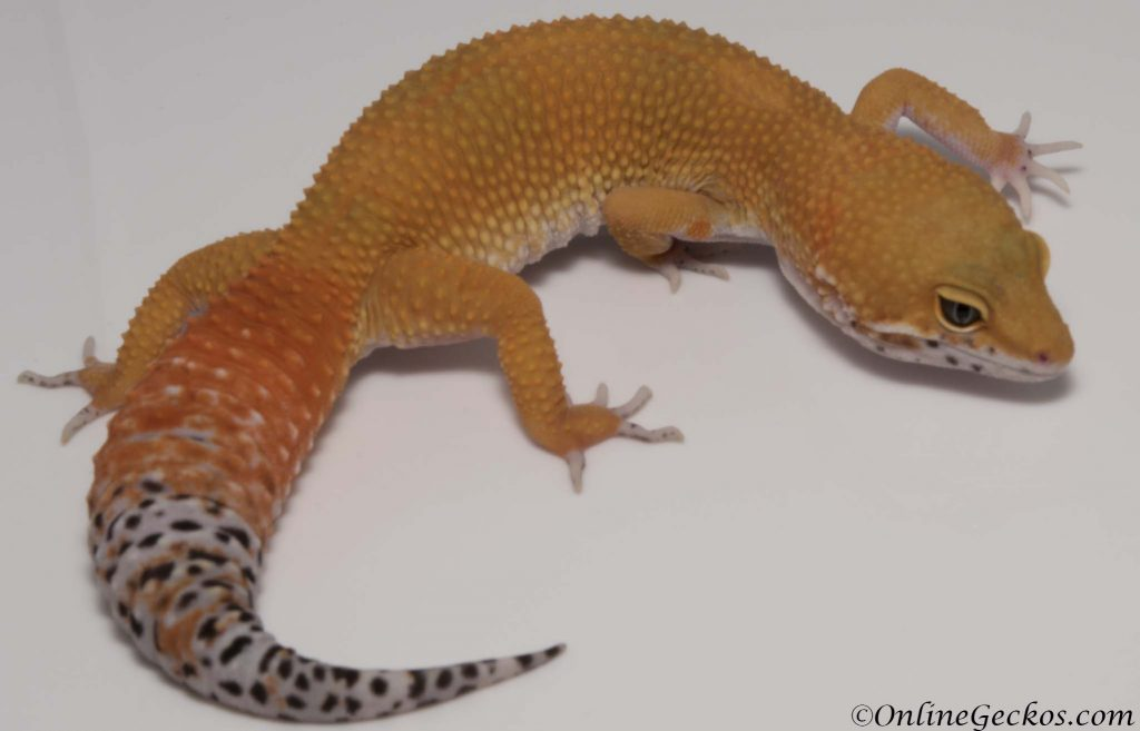 onlinegeckos leopard gecko for sale blood super hypo female
