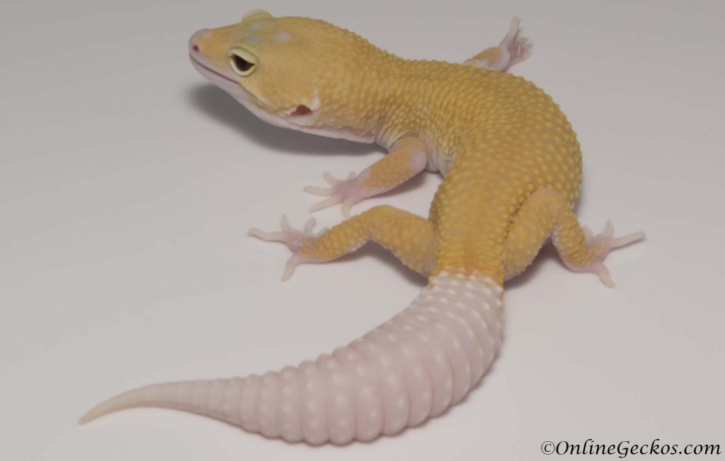 leopard gecko for sale cyclone male onlinegeckos.com