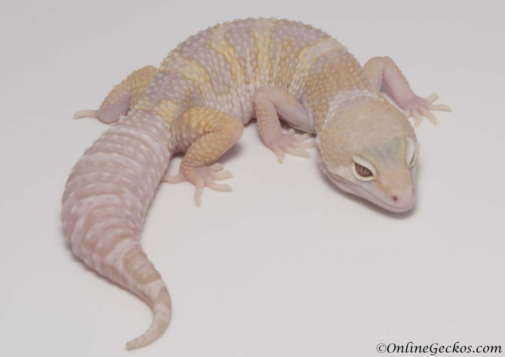 leopard gecko for sale mack snow tremper albino het diablo blanco female