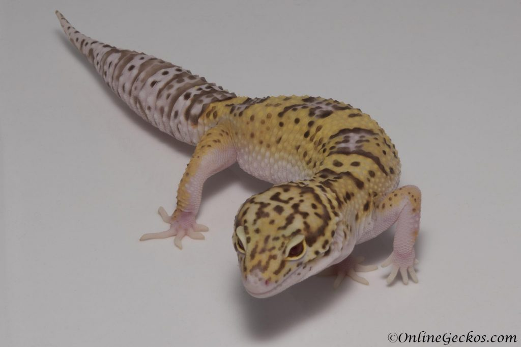 leopard gecko for sale radar het white knight female