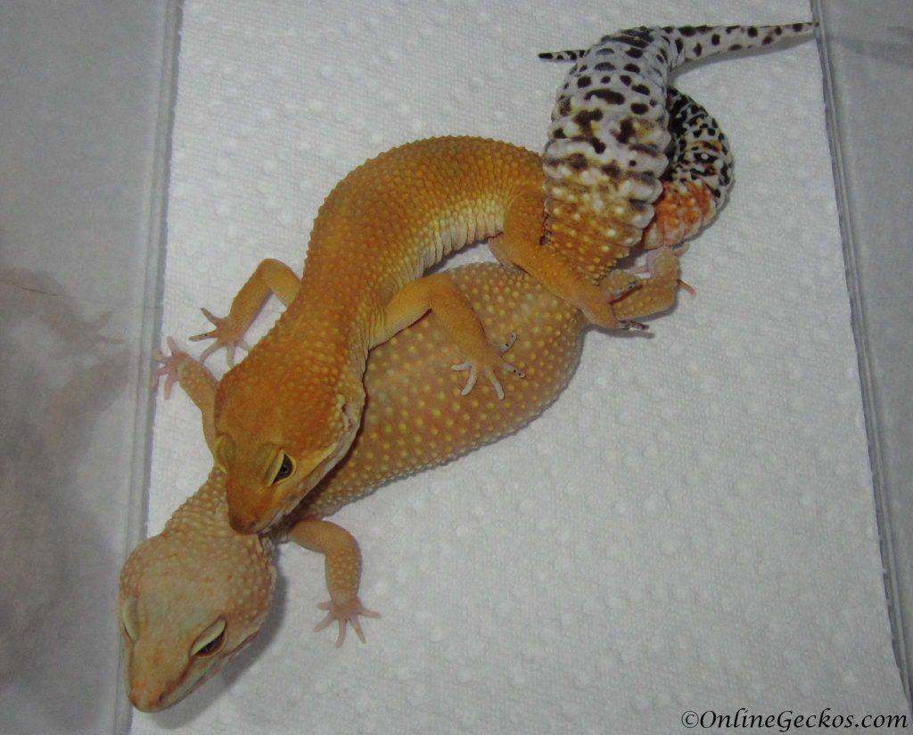 Leopard Gecko Breeding Season 2018 - OnlineGeckos.com ...Leopard Gecko Hatching