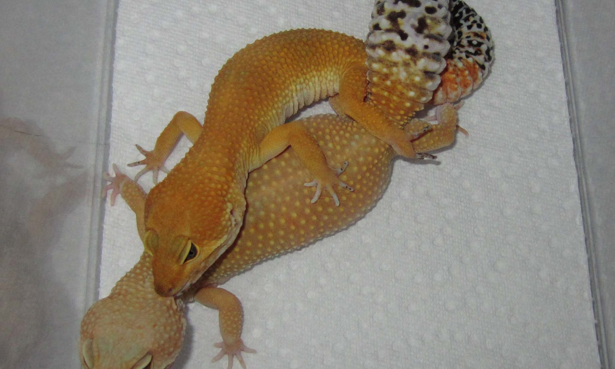 onlinegeckos.com leopard gecko breeding season 2018