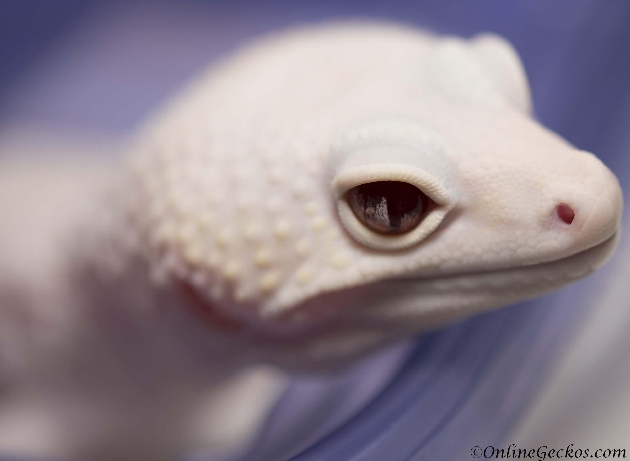 Leopard Gecko Breeding Season 2018 - OnlineGeckos.com ...Live Leopard Gecko Hatching