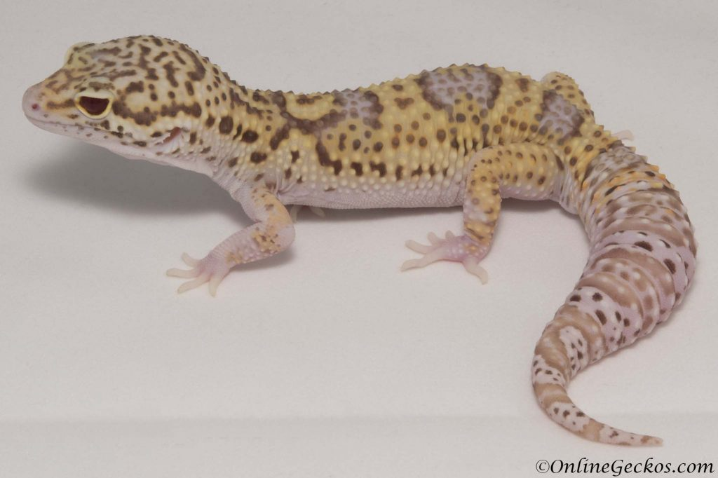 leopard gecko for sale radar het white knight male