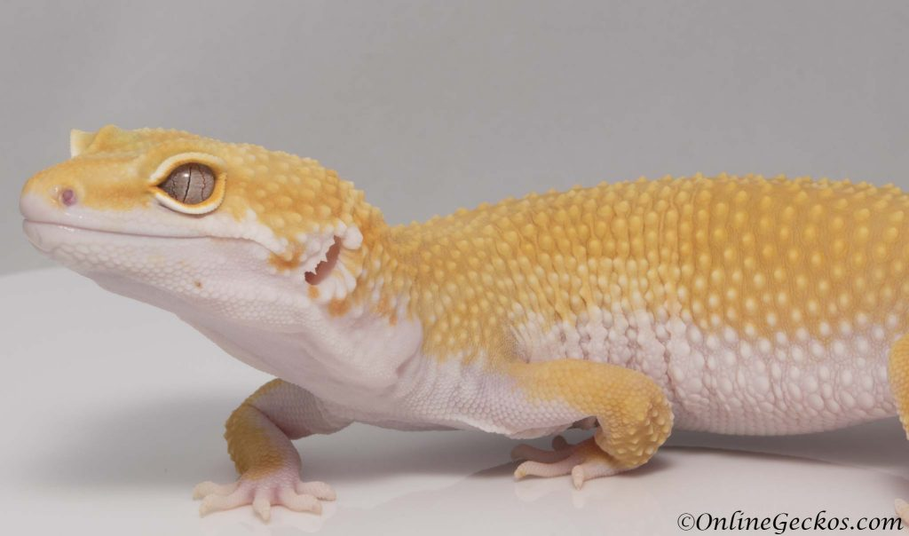breeding leopard geckos on a small scale