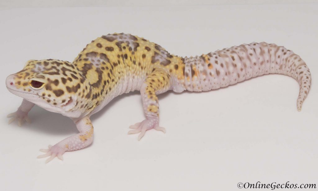 breeding leopard geckos on a small scale onlinegeckos.com breeder radar het white knight