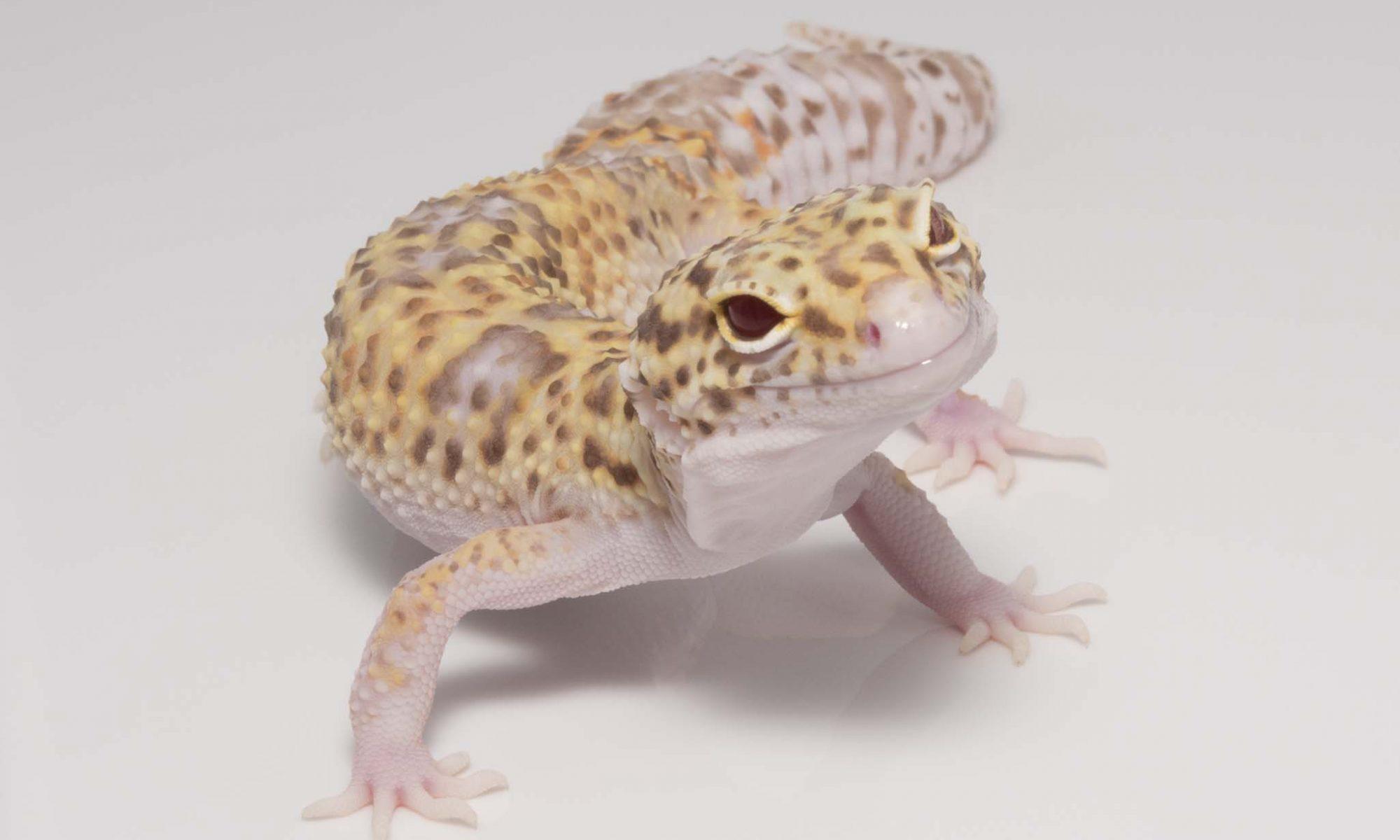 Leopard Geckos For Sale - OnlineGeckos com Gecko Breeder