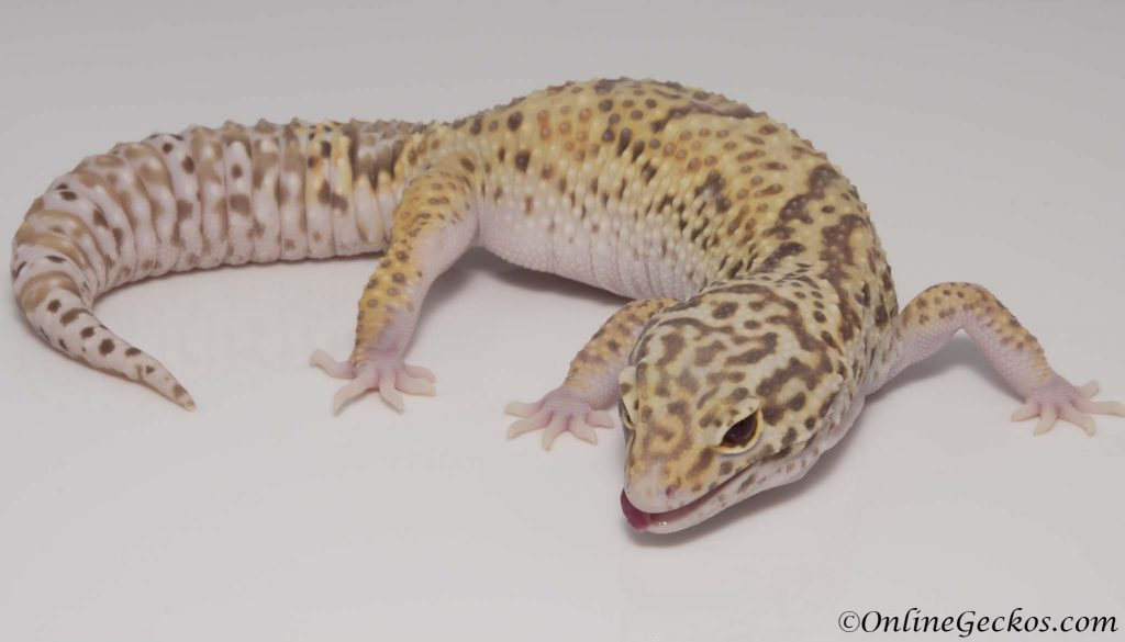 small scale leopard gecko breeding 101
