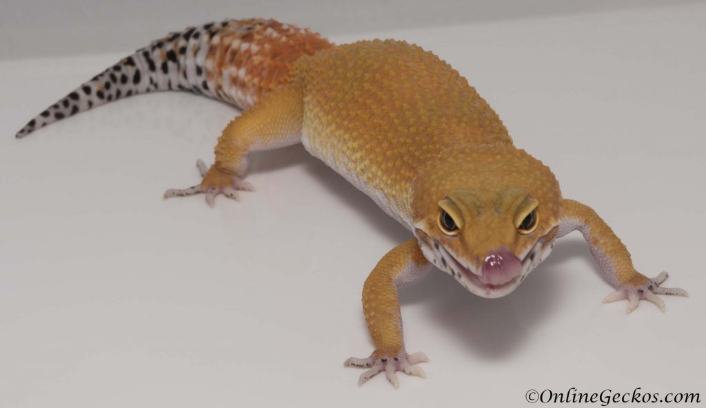 small scale leopard gecko breeding blood super hypo