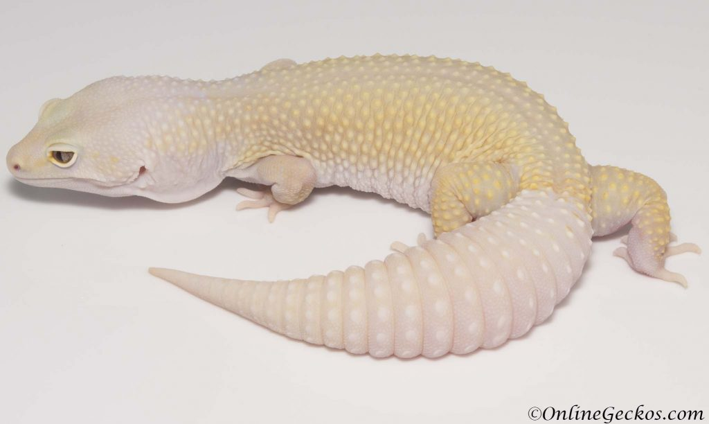 small scale leopard gecko breeding onlinegeckos.com breeder bell blazing blizzard het white knight