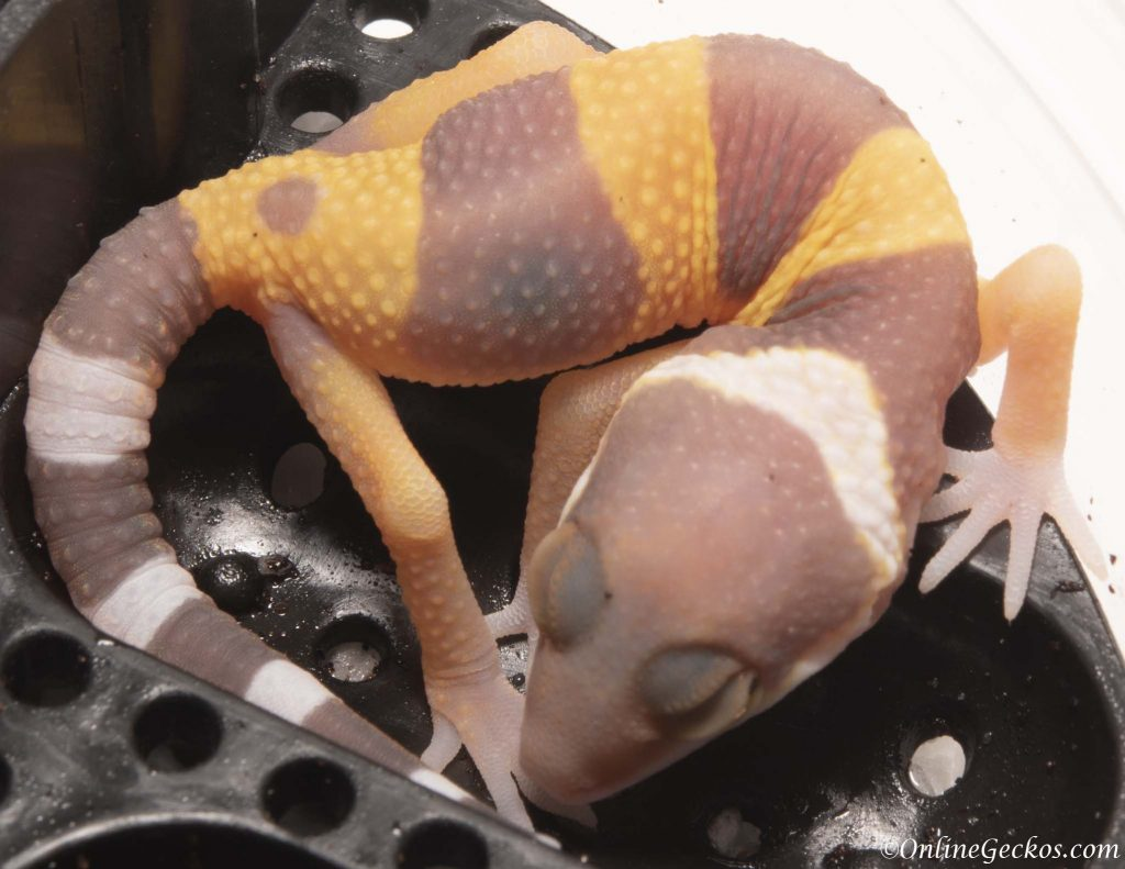 2018 leopard gecko hatchling update blood albino