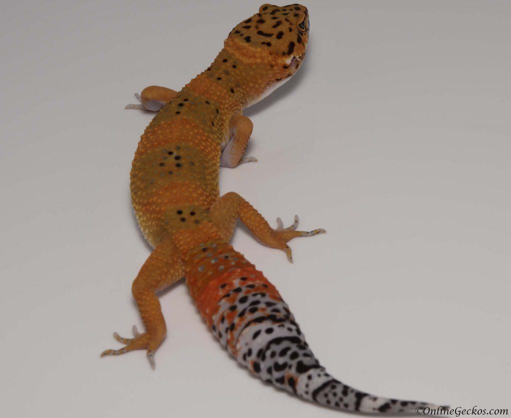 2018 leopard gecko hatchling update blood tangerine juvenlie