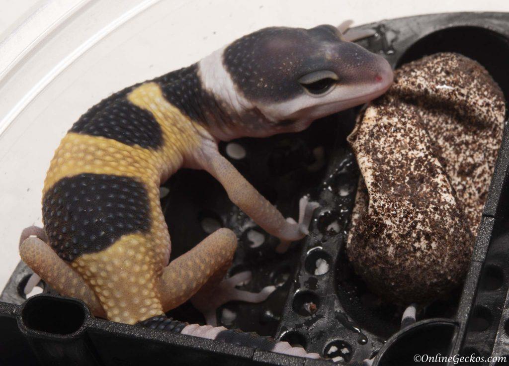 2018 leopard gecko hatchling update giant tangerine