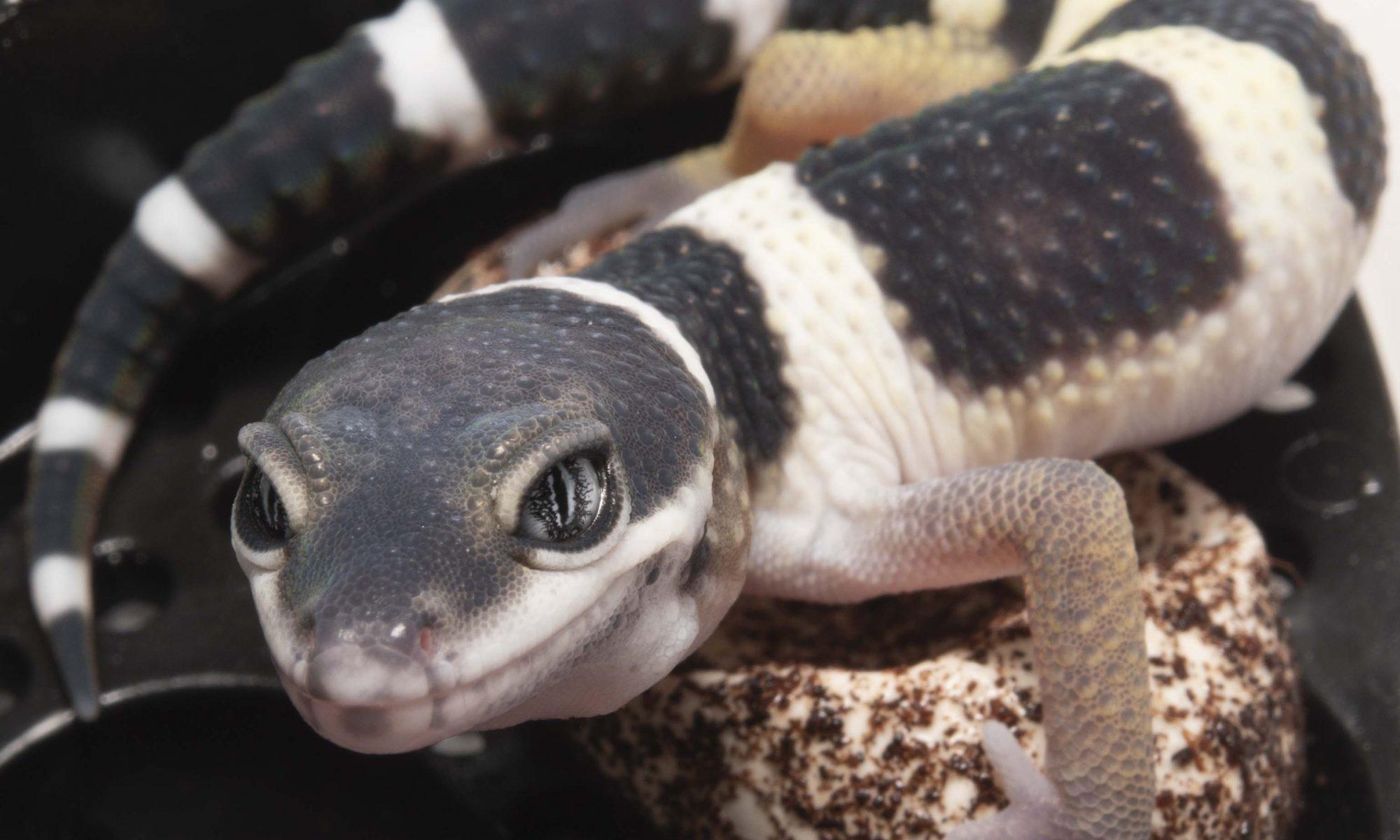 2018 leopard gecko hatchling update lemon frost