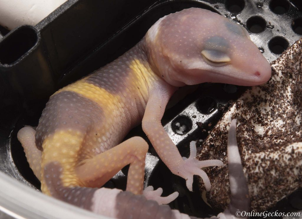 2018 leopard gecko hatchling update super giant raptor