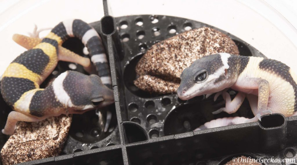 2018 leopard gecko hatchling update tangerine lemon frost