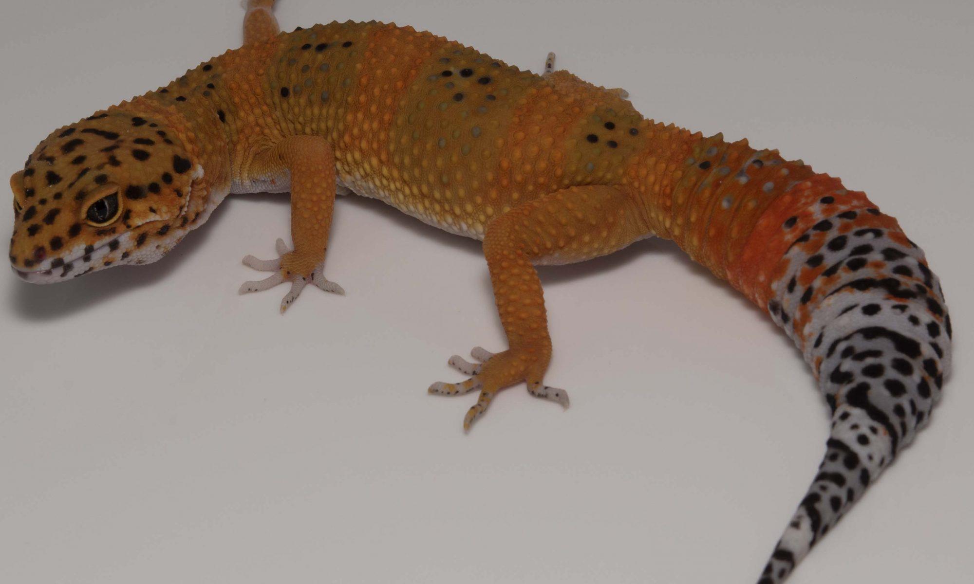 OnlineGeckos.com Gecko Breeder - Leopard Geckos For Sale ...Leopard Gecko Hatchling For Sale