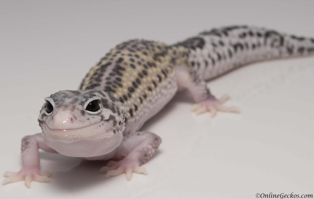 2018 leopard geckos for sale mack snow eclipse female